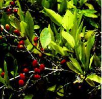 Coca-Strauch (Erythroxylum coca) mit Blättern und Früchten.