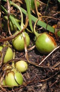 Gemeine Alraune (Mandragora officinarum), Früchte
