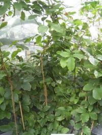 Guaranapflanze im Tropenhaus