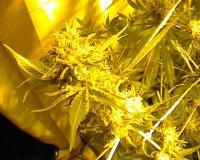 Weibliche Cannabisblüte unter Natriumdampflicht