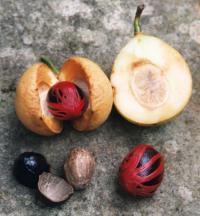 Muskatnuss mit innerer Schale, Macis und Frucht