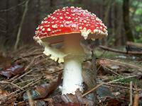 Ein Fliegenpilz - dieser hübsch anzusehende Pilz wurde früher als Lockmittel gegen Fliegen eingesetzt. Er ist giftig