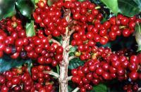 Kaffeepflanze in Brasilien