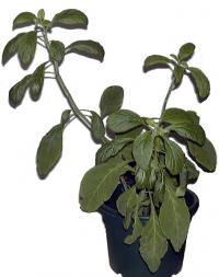 Salvia divinorum, eine psychoaktive Salbeiart