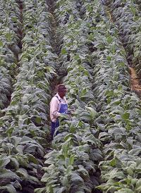 Tabakfeld. Die weltweite Rohtabakernte beträgt etwa sieben Millionen Tonnen